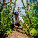 volunteer weeding the bean tunnel
